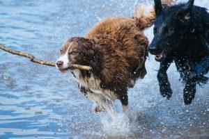 dogs running along a waterway near belfield